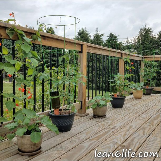 Tomatoes and eggplant in containers, flanked by scarlet runner beans