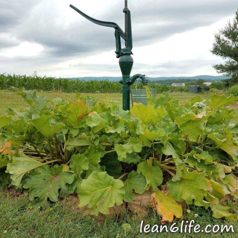 Rhubarb around the well