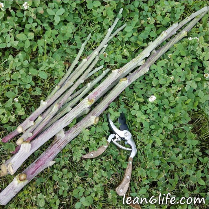 Harvested Burdock Stalks