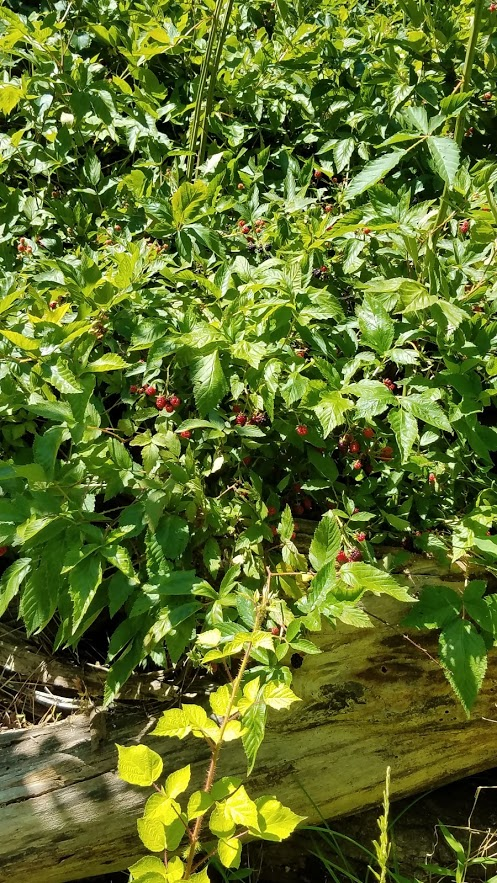 The blackberry thicket