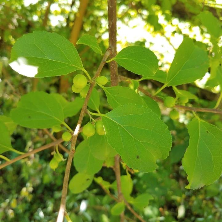 Buckthorn - NOT EDIBLE