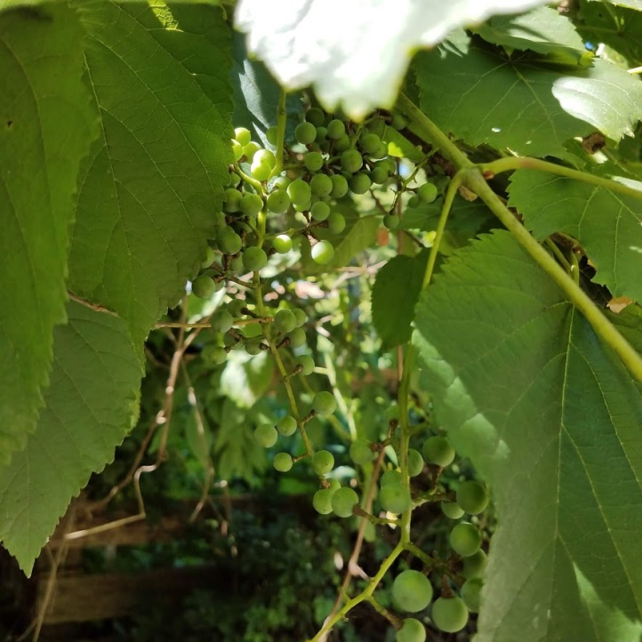 Wild grapes within arm's reach