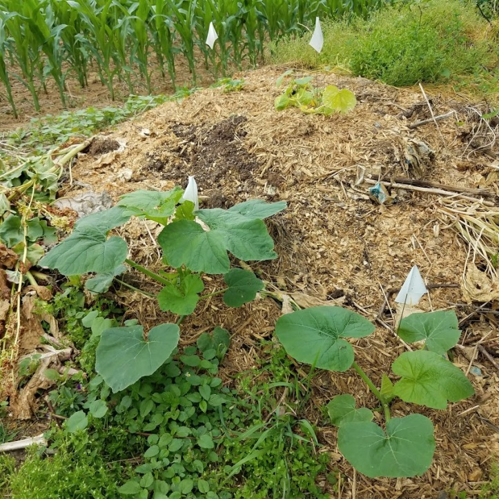 Cucumbers (top) and volunteer squash (front)