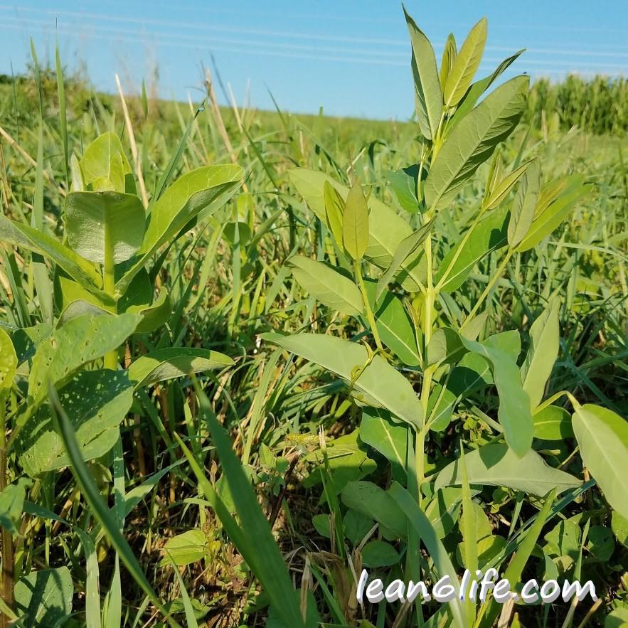 Tasty milkweed (left) versus toxic dogbane (right)