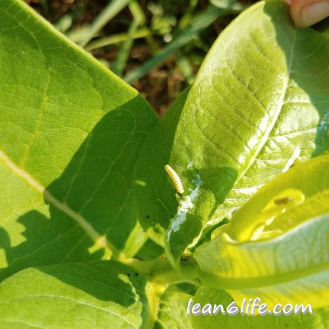Itty bitty baby monarch caterpillar
