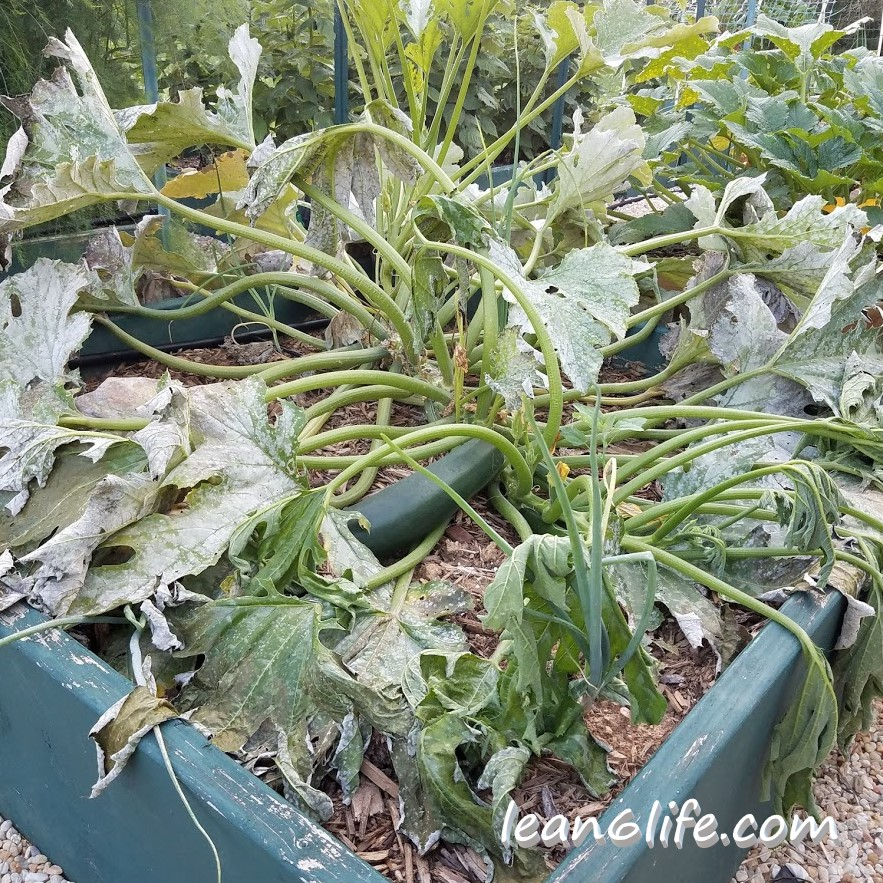And then the zucchini squash succumbed