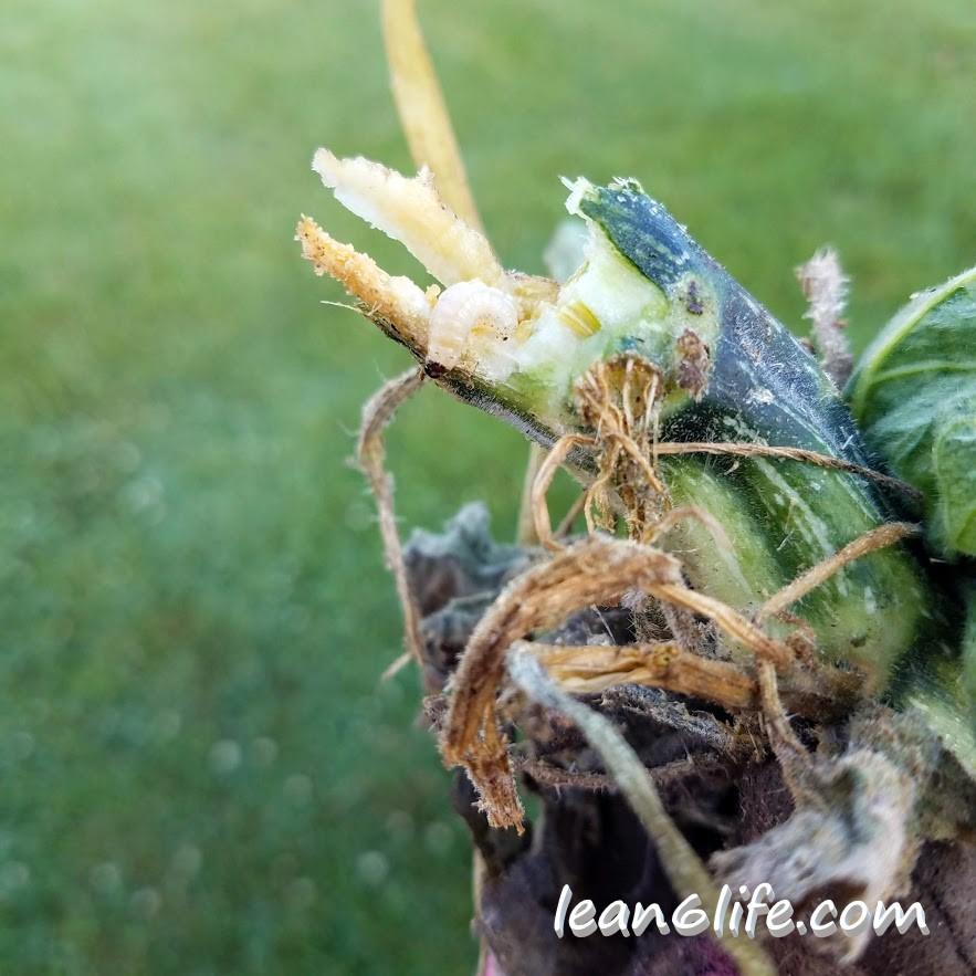 Squash Vine Borer caterpillar, caught in the act.