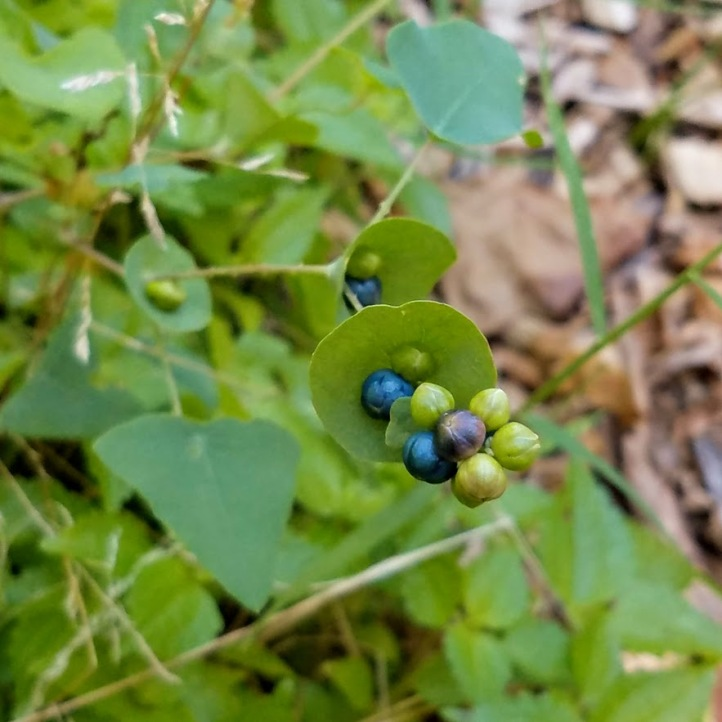 Tearthumb berries