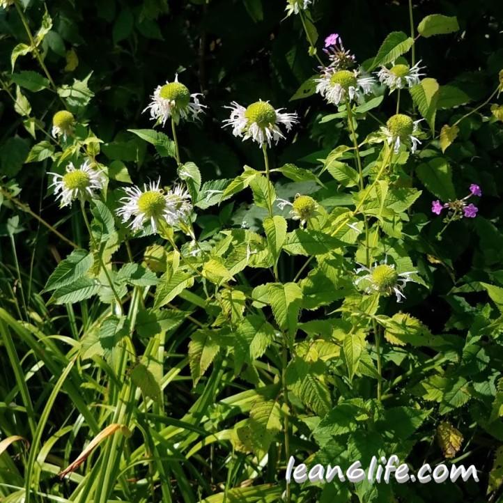 Wild bee balm (aka wild bergamot)