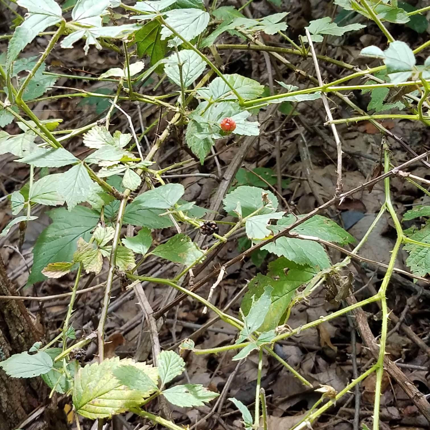 Sad little blackberries