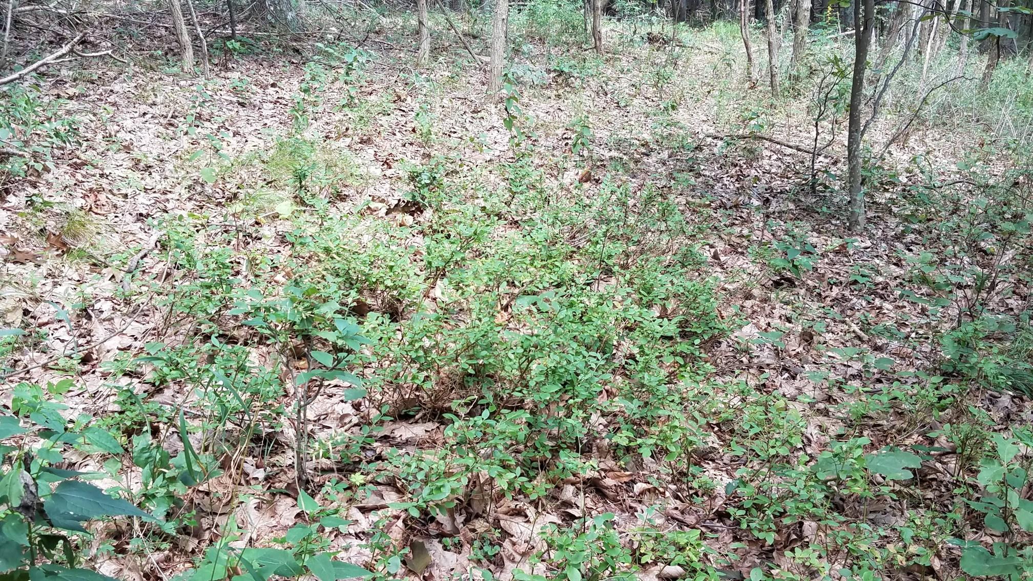 Lowbush blueberries