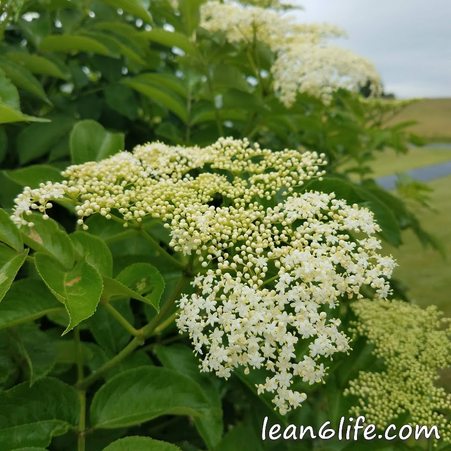 Elderflowers in the spring