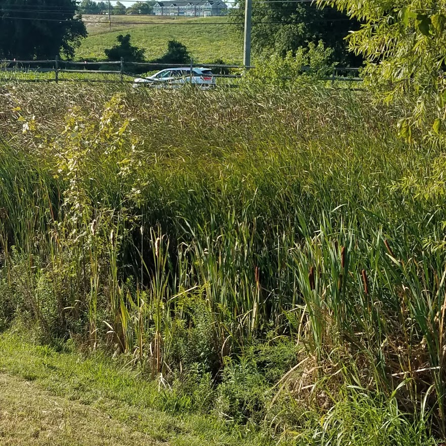Fenced off surburban cattails in a shopping center parking lot drainage area