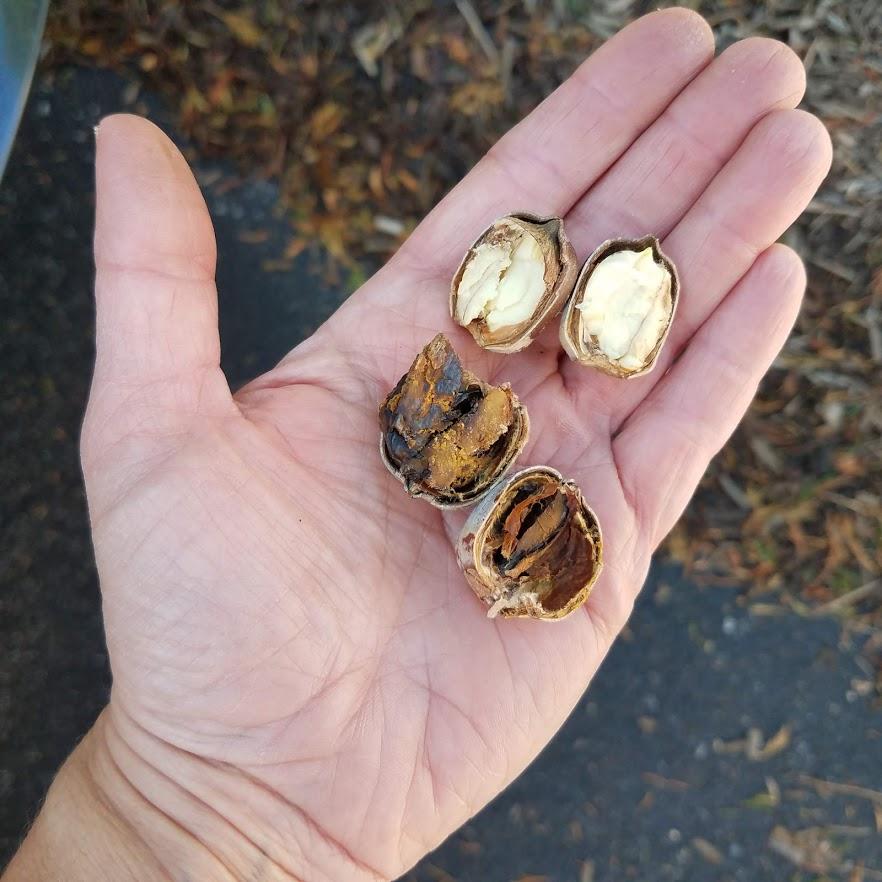 Good acorn (top) versus bad acorn (bottom)