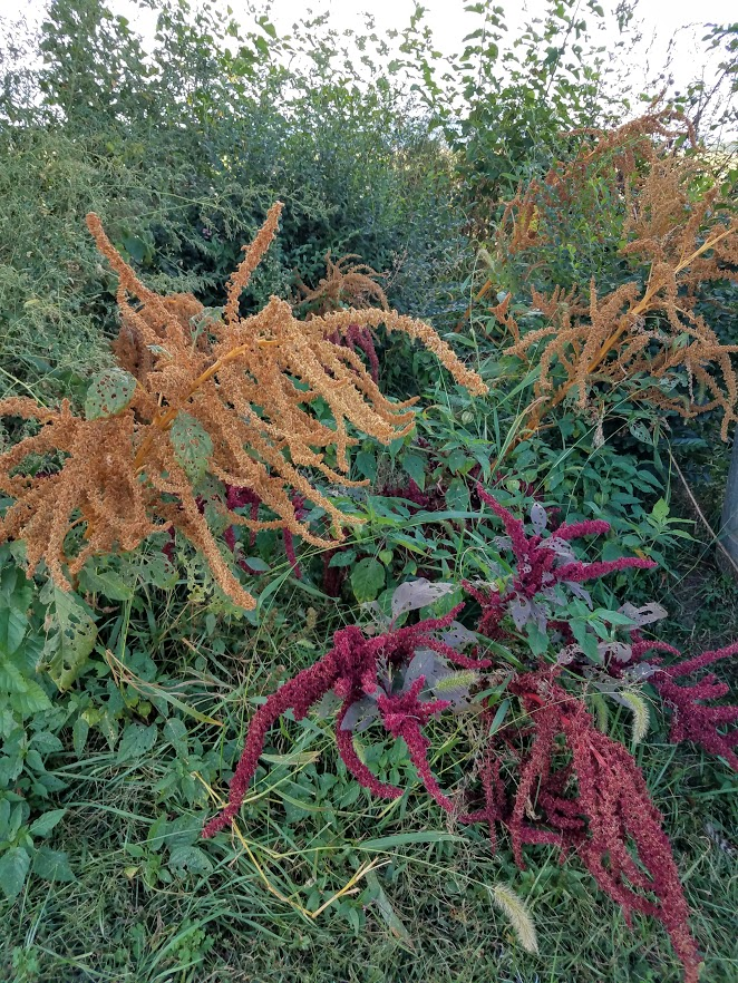 Apparently I was too late to harvest the seeds from these amaranth plants
