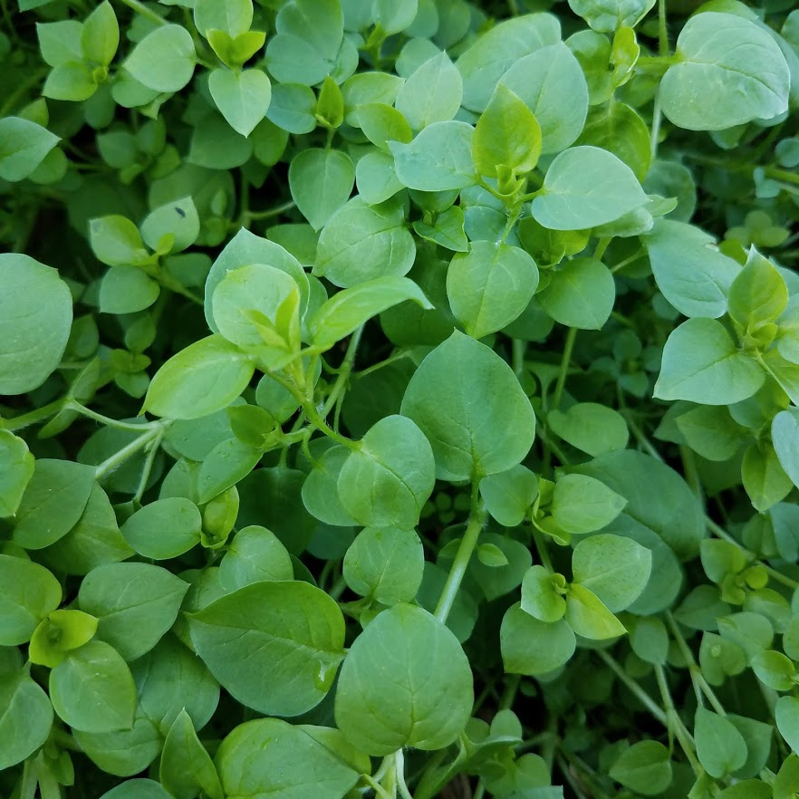 Sweet, crunchy chickweed
