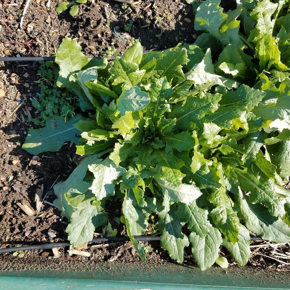 Wild lettuce for medicinal uses (I hope)