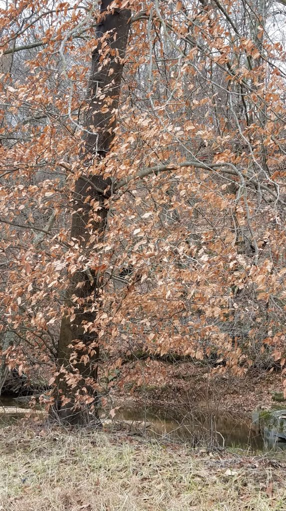 Beech trees retain their leaves through the winter