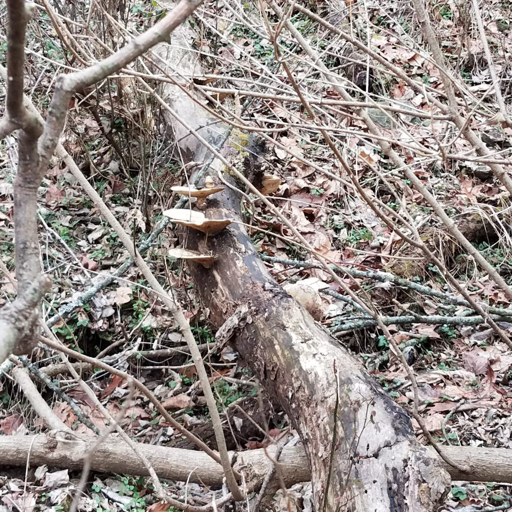 Mature dryad's saddle mark a dead tree to check in the spring