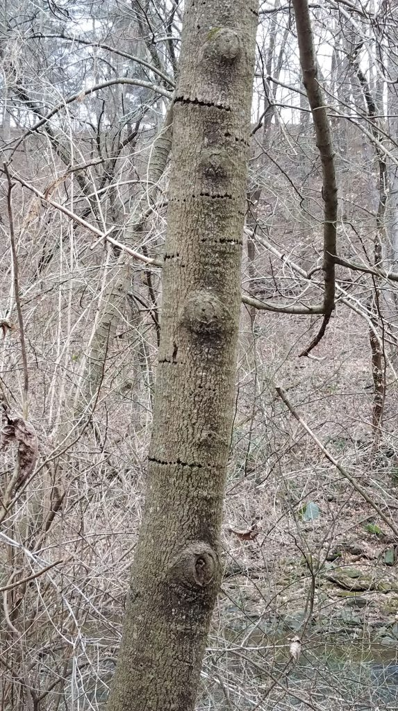 Rings of woodpecker damage are common on local pawpaws