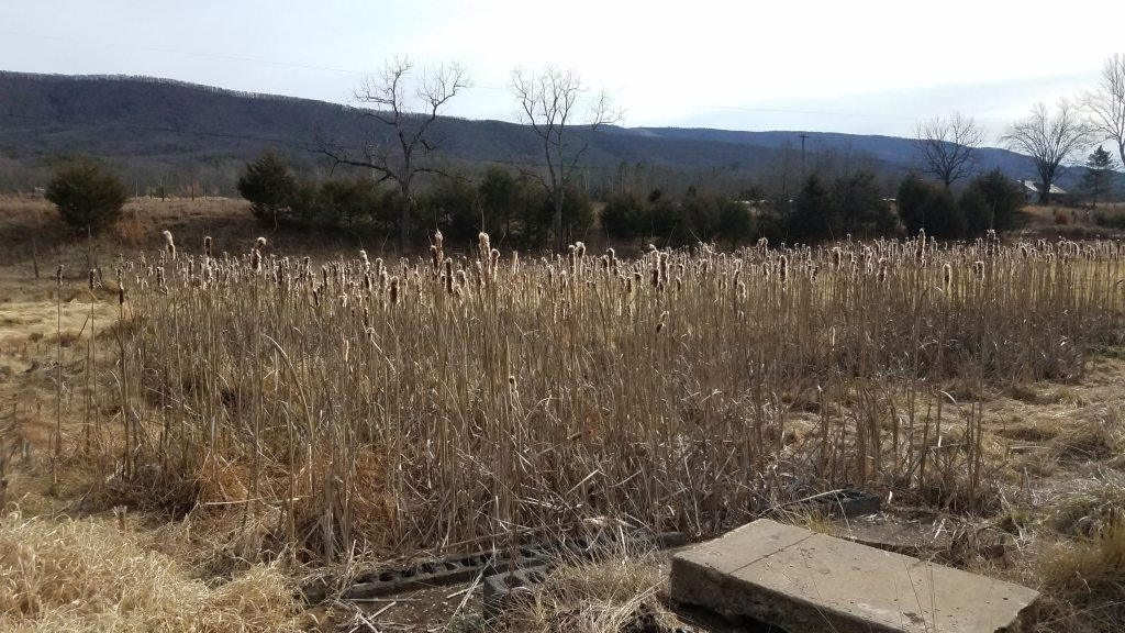 Cattails in standing water - possible future pond?