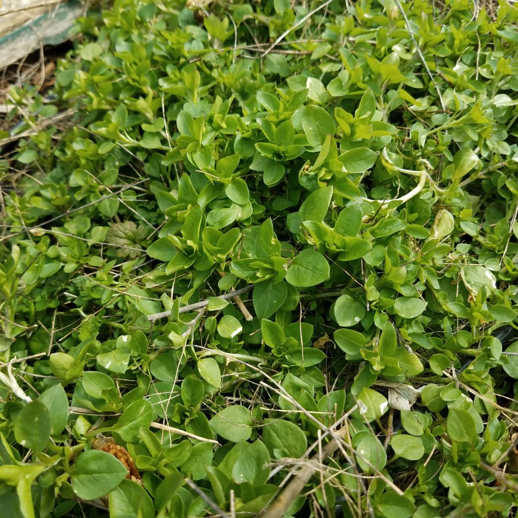The best chickweed always grows where it isn't wanted .... like my asparagus bed!