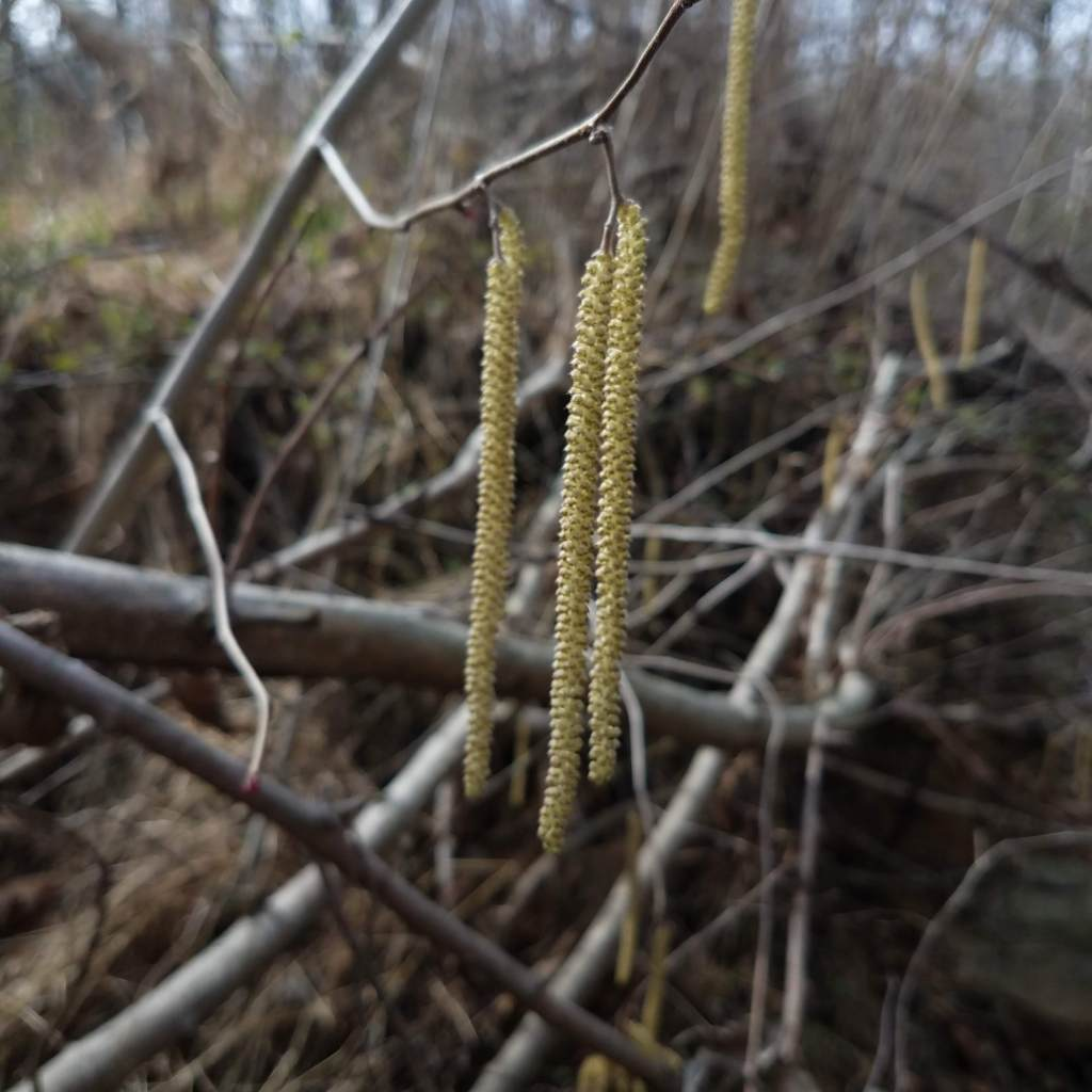 Hazelnut male catkins (aka flower clusters) help identify the shrubs in late winter