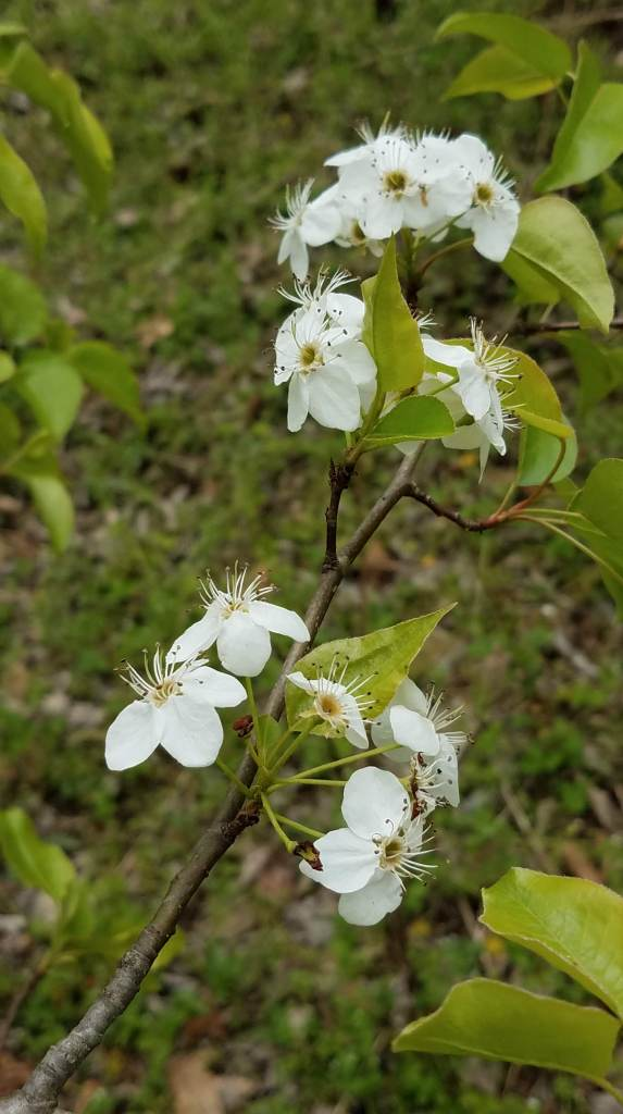 Another tree with white flowers ... still not serviceberry