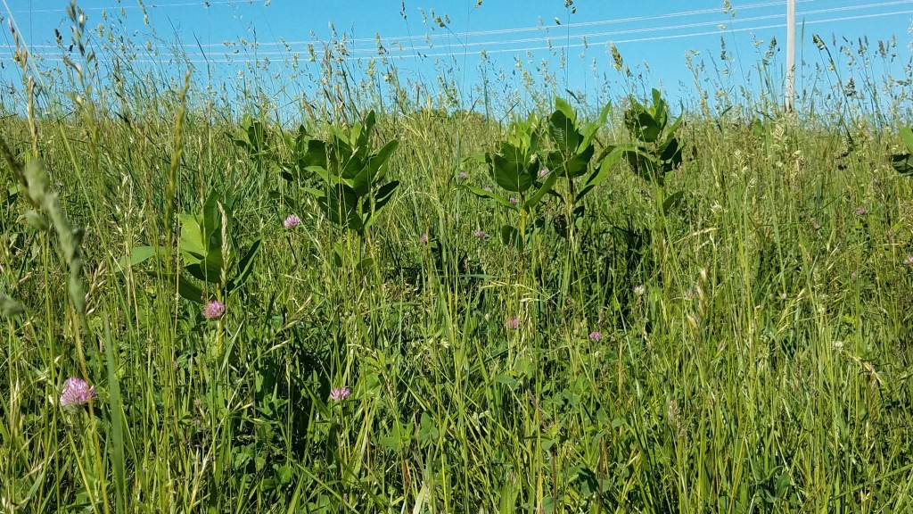 Milkweed, too mature to harvest for shoots