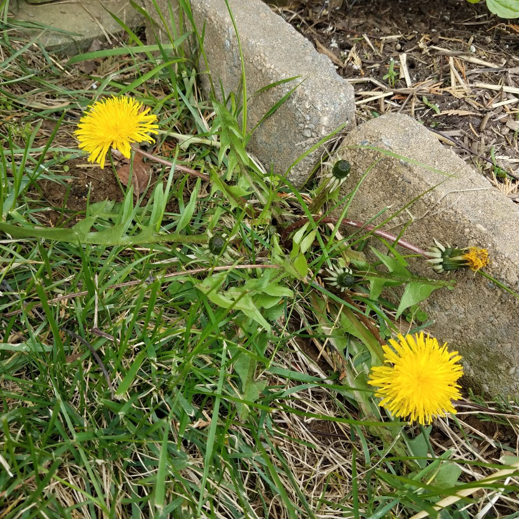 Dandelion leaves will regrow from the taproot