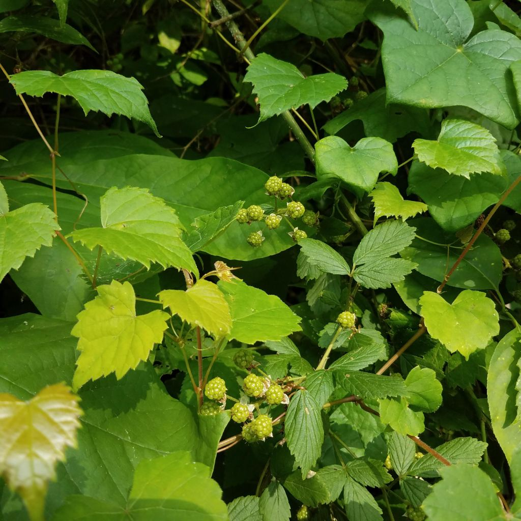 Blackberries, small and far from ripe