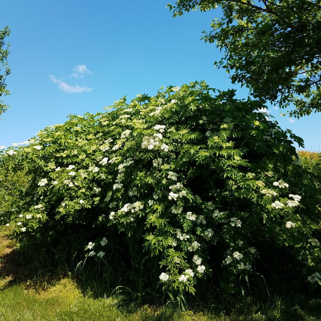 Elderberry in bloom