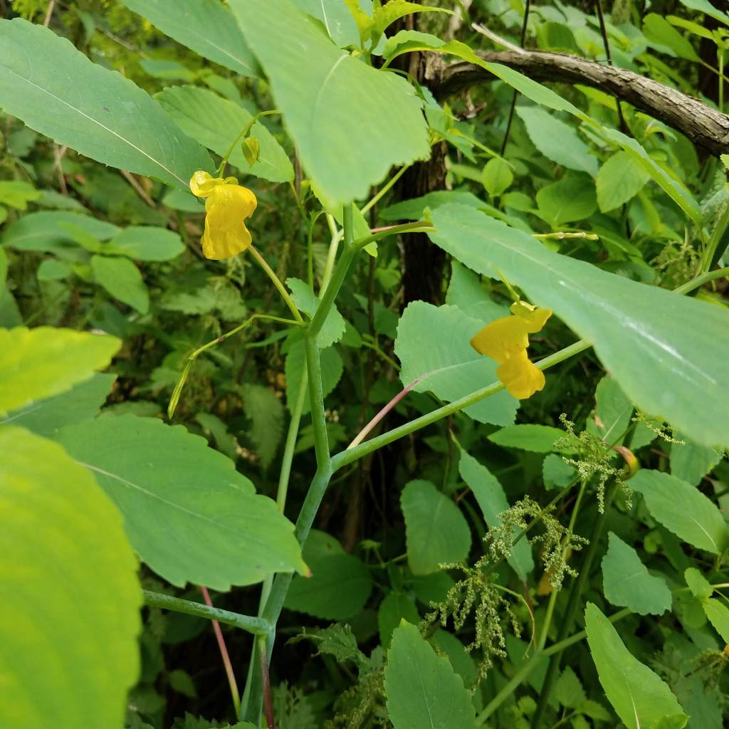 Jewelweed sap helps soothe the stings