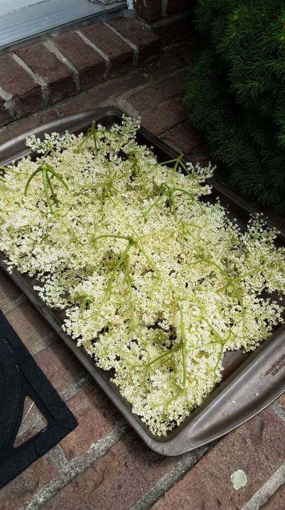 I am grateful for more an abundance of elderflowers...