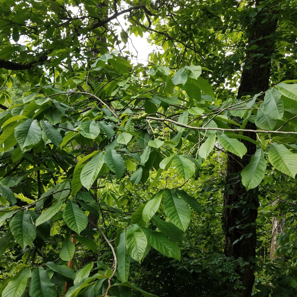 This pawpaw features several large clusters of fruit