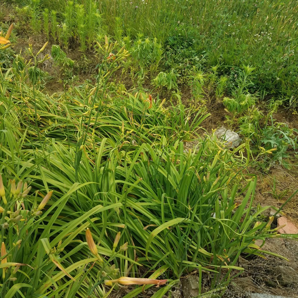 Daylily patch possibly sprayed with herbicides - note the curling stems and other plants drooping