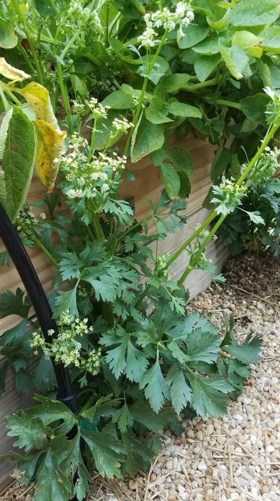 Feral parsnips