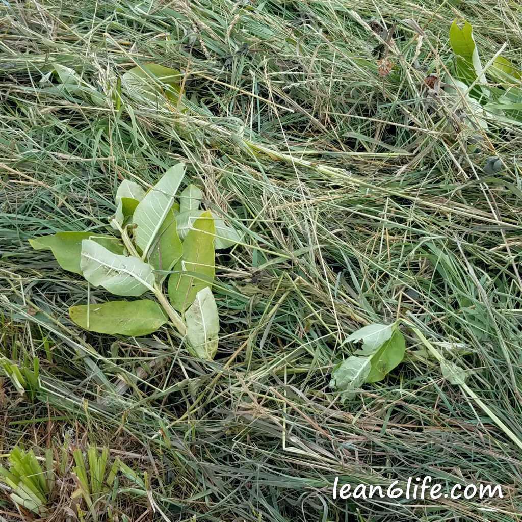 Poor mowed milkweed...