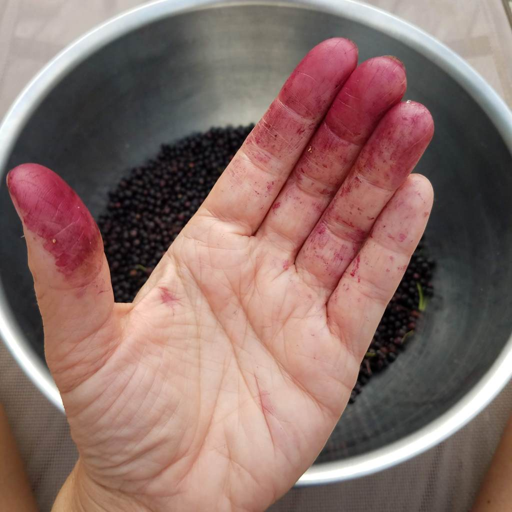 My hand stained with elderberry juice