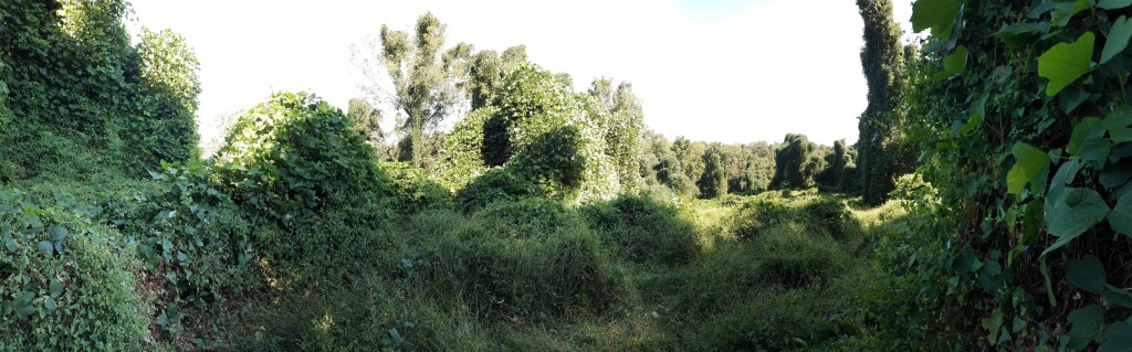 A panorama view of the kudzu-smothered field