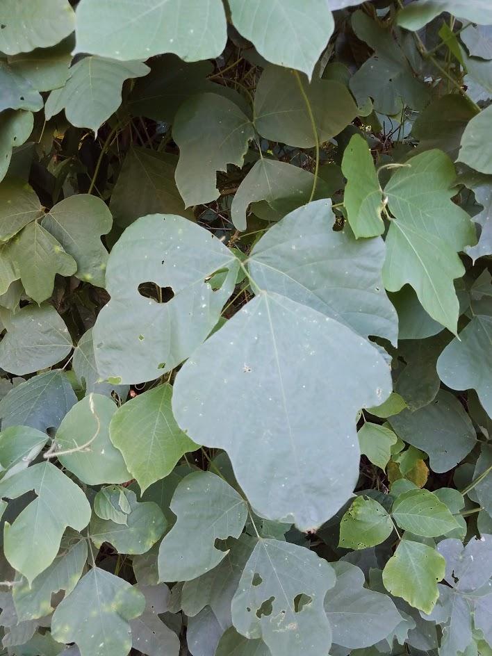Large kudzu leaves in sets of three