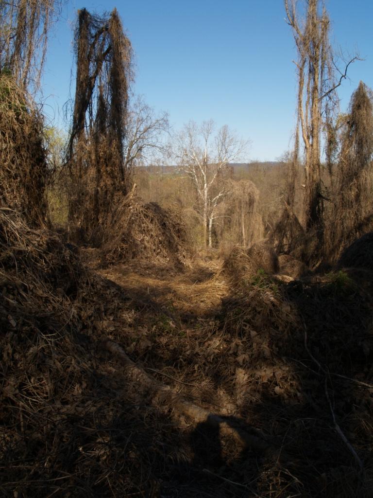A suspected kudzu infestation