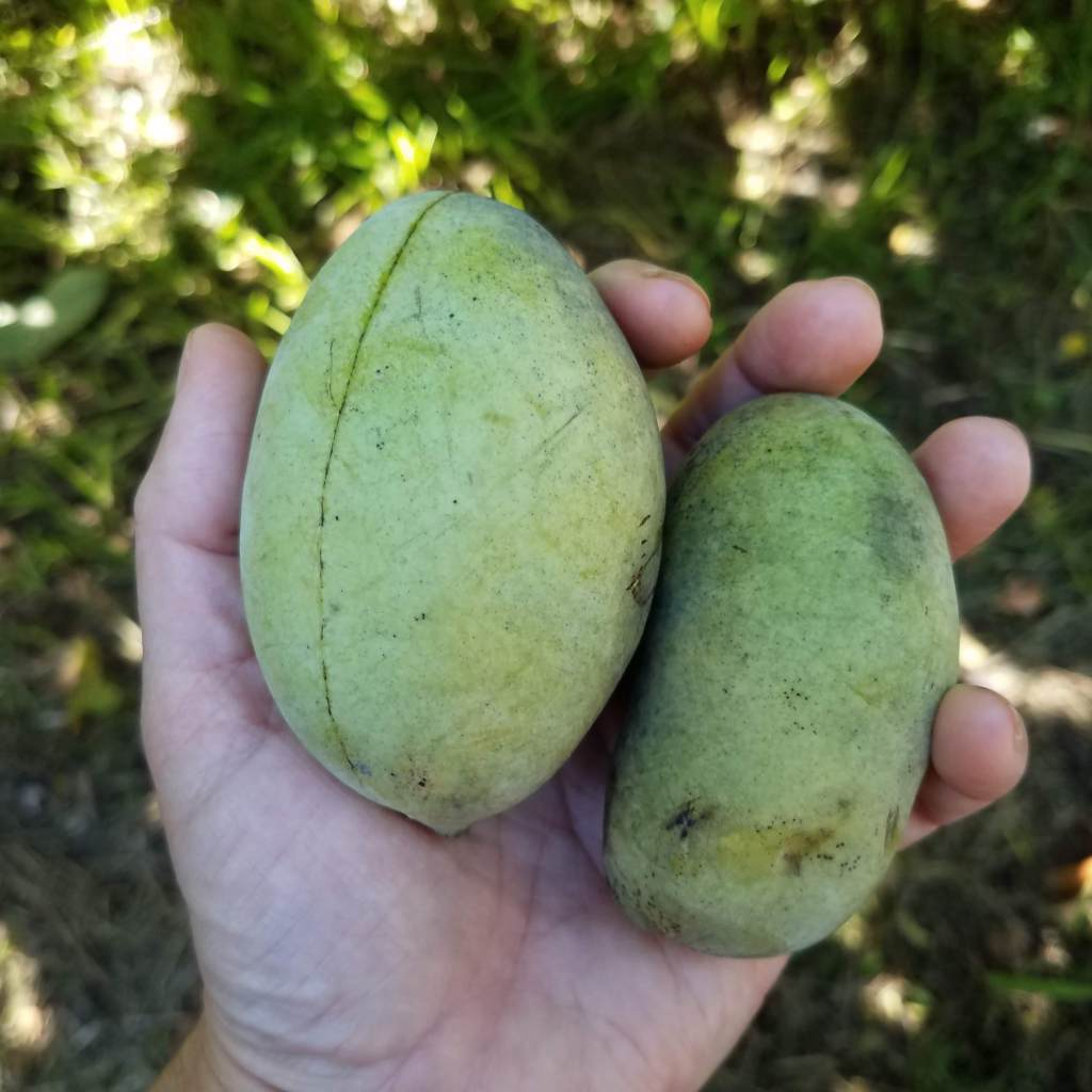 Somehow the pawpaws seemed so much larger last year