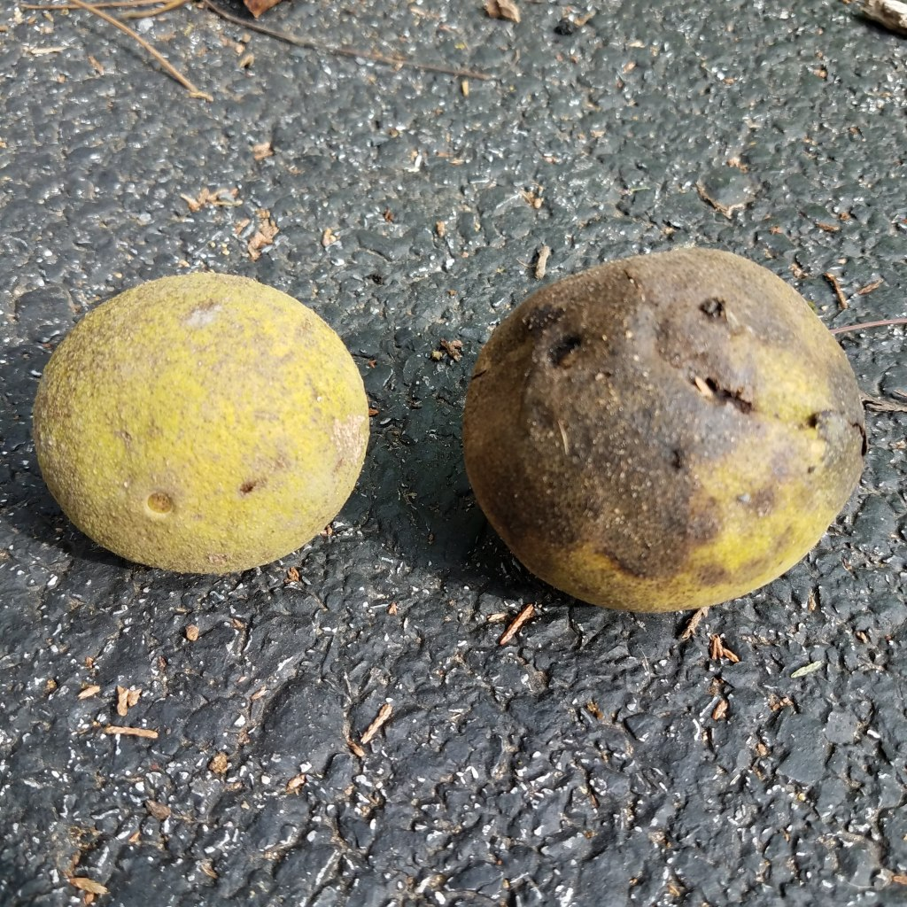 A fresh black walnut (left) versus one which has sat too long (right)