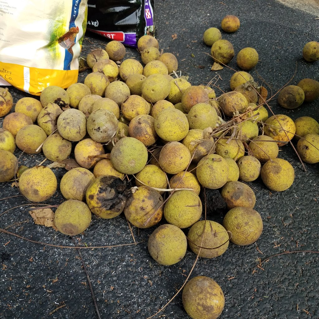 A pile of black walnuts waiting for me to process