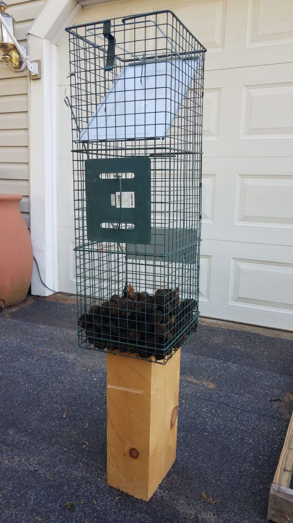Squirrel proof storage is critical for black walnuts