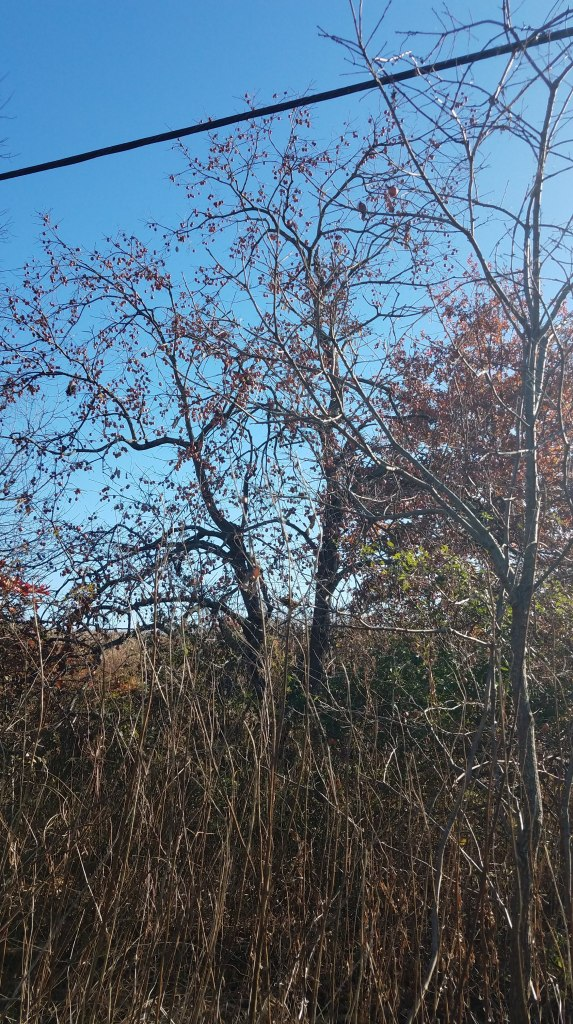 The roadside persimmon tree taunts me
