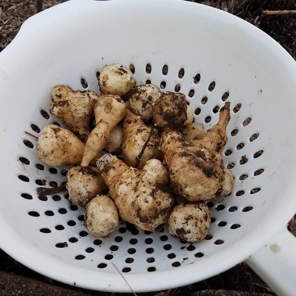 A colander containing freshly harvested sunchoke tubers