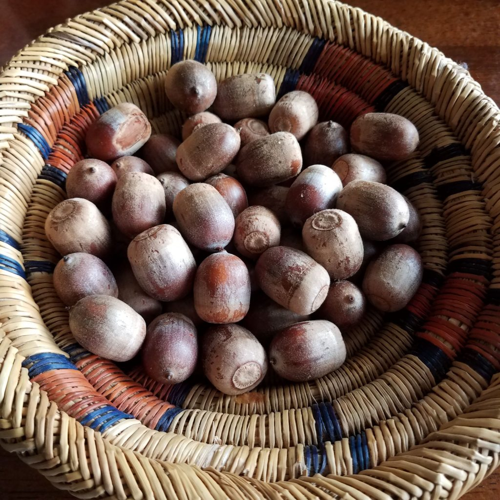 A small basket of acorns, all infected with acorn weevils