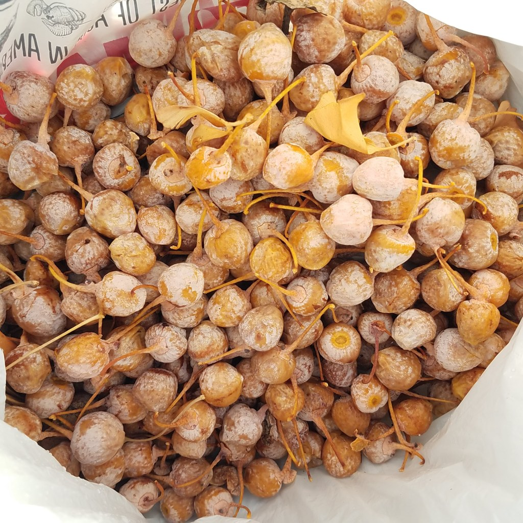 Several pounds of stinky gingko fruit double bagged to trap the stench